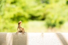 El camaleón de Brown está en la pared cerca de bosque, él que busca la comida Imagenes de archivo