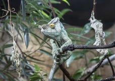 El camaleón del párroco de sexo masculino Imagen de archivo
