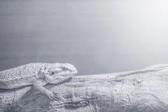El camaleón del primer se aferra en la madera en fondo texturizado la pared de madera borroso en tono blanco y negro con el espac Fotos de archivo