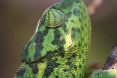 El camaleón en la acción Imagen de archivo