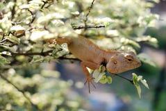 El camaleón en la ramificación Fotografía de archivo libre de regalías