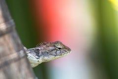 El camaleón en naturaleza Imágenes de archivo libres de regalías