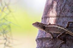 El camaleón en naturaleza Fotografía de archivo libre de regalías