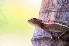 El camaleón en naturaleza Imagenes de archivo