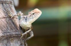 El camaleón en naturaleza Fotografía de archivo