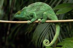 El camaleón gigante del párroco Imagen de archivo libre de regalías
