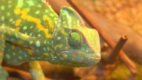 El camaleón gira el ojo almacen de metraje de vídeo