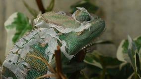 El camaleón joven en las hojas está cambiando su piel almacen de video