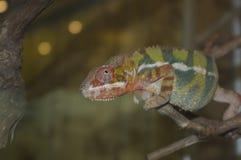 El camaleón se sienta en una rama Imagen de archivo
