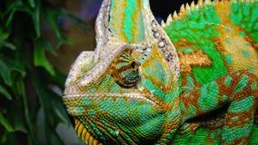 El camaleón velado, calyptratus del Chamaeleo de la cono-cabeza almacen de video