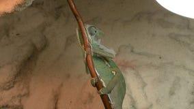 El camaleón verde joven cambia su piel almacen de video