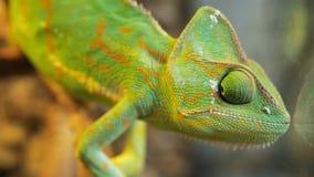 El camaleón verde que balancea entre las ramas del árbol seco y del grillo de observación gira sus ojos Calyptratus del Chamaeleo metrajes