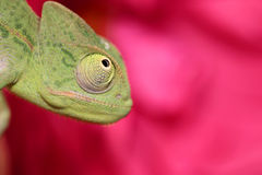 El camaleón y se levantó Imagenes de archivo