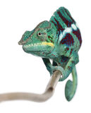 El camaleón de la pantera Nosy sea, los pardalis de Furcifer Foto de archivo