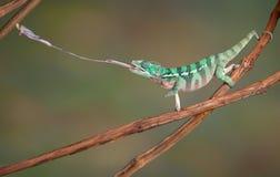 El camaleón tira hacia fuera la lengüeta Imágenes de archivo libres de regalías