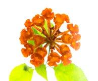 El camara anaranjado de las flores del Lantana se aísla en el fondo blanco Imagenes de archivo