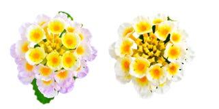 El camara del Lantana de la flor se aísla en el fondo blanco Imagen de archivo libre de regalías