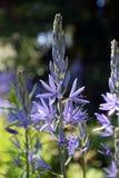 El Camassia púrpura florece, jacinto salvaje, quamash fotografía de archivo