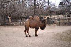 El camello Fotos de archivo libres de regalías