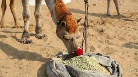 El camello adornado metrajes