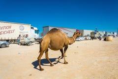 El camello camina a lo largo de un convoy el 22 de agosto de 2016 en las aduanas Imágenes de archivo libres de regalías