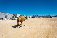 El camello camina a lo largo de un convoy el 22 de agosto de 2016 en las aduanas Fotografía de archivo libre de regalías
