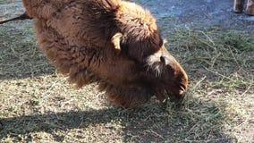 El camello come el heno en el parque zoológico almacen de video