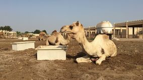 El camello en la granja come el heno metrajes