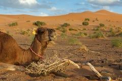 El camello miente en la arena Fotos de archivo libres de regalías
