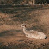 El camello se relaja Foto de archivo
