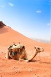 El camello toma un resto en desierto del rojo del ron del lecho de un río seco Fotografía de archivo libre de regalías