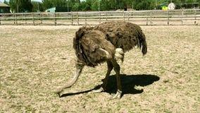 El camelus africano salvaje domesticado del struthio de la avestruz está caminando en una pajarera en una granja de la avestruz almacen de video