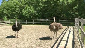 El camelus africano salvaje domesticado del struthio de la avestruz está caminando en una pajarera en una granja de la avestruz metrajes