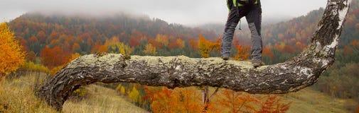 El caminante en tronco del abedul admira paisaje colorido otoñal del bosque Fotografía de archivo