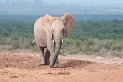 El caminar adulto joven del elefante Imágenes de archivo libres de regalías