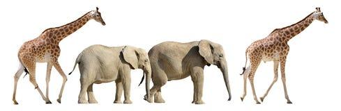 El caminar aislado de las jirafas y de los elefantes Fotografía de archivo