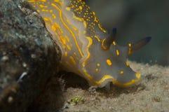 El caminar amarillo invertebrado en la esponja Imágenes de archivo libres de regalías