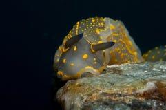 El caminar amarillo invertebrado en la esponja Imagen de archivo libre de regalías