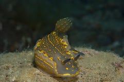 El caminar amarillo invertebrado en la esponja Foto de archivo