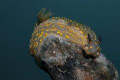 El caminar amarillo invertebrado en la esponja Fotografía de archivo libre de regalías