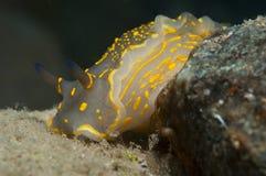 El caminar amarillo invertebrado en la esponja Imagen de archivo