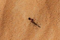 El caminar bicolor de Sahara Desert Ant Cataglyphis a través de la arena caliente imagenes de archivo