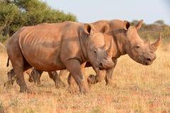 El caminar blanco de los rinocerontes Foto de archivo libre de regalías