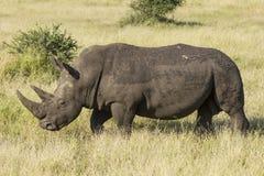 El caminar blanco del rinoceronte (simum del Ceratotherium) Foto de archivo