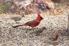 El caminar cardinal septentrional en el piso del jardín con los pinzones de casa Fotografía de archivo libre de regalías
