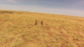 El caminar de dos avestruces almacen de video