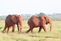 El caminar de dos elefantes Foto de archivo