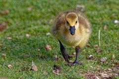 El caminar de Gosling del ganso de Canadá Foto de archivo