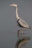 El caminar de Grey Heron Imágenes de archivo libres de regalías