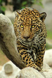 El caminar de Jaguar imagenes de archivo